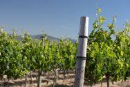Vineyard 1
