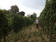 Chardonnay Harvest