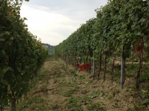 Chardonnay harvest begins in Pio Cesare vineyards