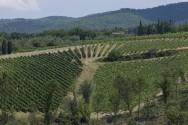 Siepi Vineyard