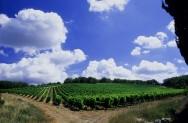 Caggio Vineyard