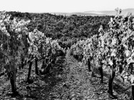Fonterutoli Vineyards