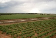 The vineyards - panoramic view