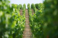 Chablis Grand Cru Vaudésir Vineyard