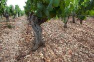 Chablis Kimmeridgien Soils
