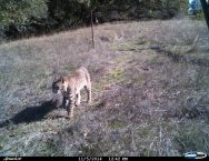 A Bobcat at Roederer Estate