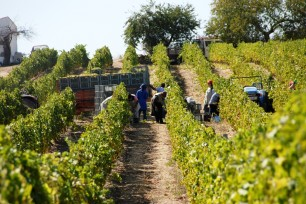 2014 Harvest at Ramos Pinto