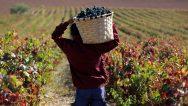 Marqués de Murrieta Harvest