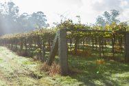 Albariño Vines on Pergola