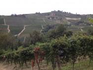 Chardonnay Vineyard