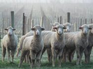Sheep in the vineyards