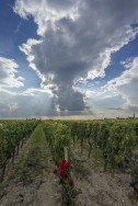 Petrus vines in summer
