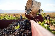 Marqués de Murrieta Harvesting Grapes