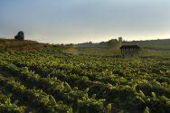 Marqués de Murrieta Finca Ygay Vineyards