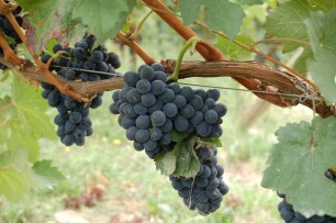 Jamie Goode: 'Nebbiolo' I'd love to like you more'