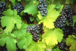 2014 Harvest report from Louis Roederer