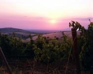 Belguardo Vines